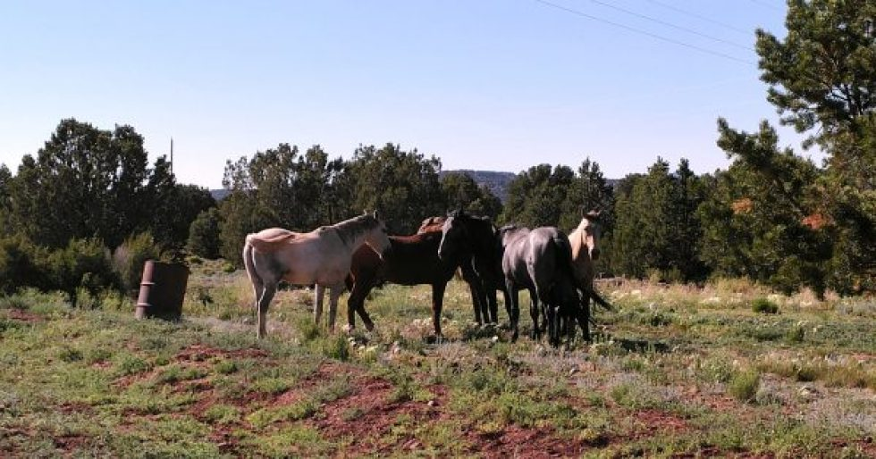 A small herd of horses, standing on grass & low scrub, with evergreen trees in the background.