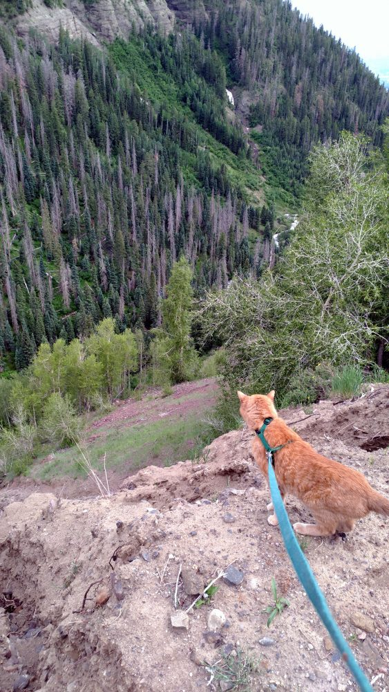 A view down a precipitous mountain pass, with evergreen trees & a mountain stream running at the bottom. In the foreground is Loiosh, looking down the pass with attentive ears. The person holding the camera also has a pretty good grip on his leash.