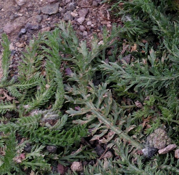 A closeup on feathery yarrow leaves growing out of a bed of gravel.