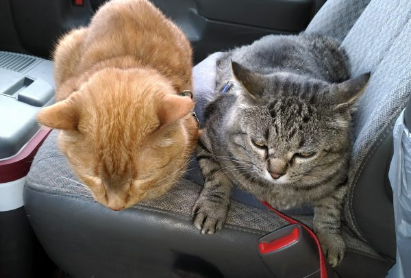 Loiosh & Major Tom meatloafed next to each other on the front seat of the van. Neither of them looks particularly thrilled with the idea.