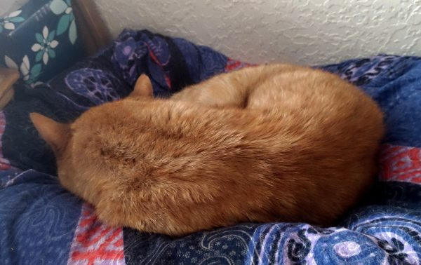 Loiosh, an orange tabby, is curled up in a ball in a pretty blue-patterned cat bed.