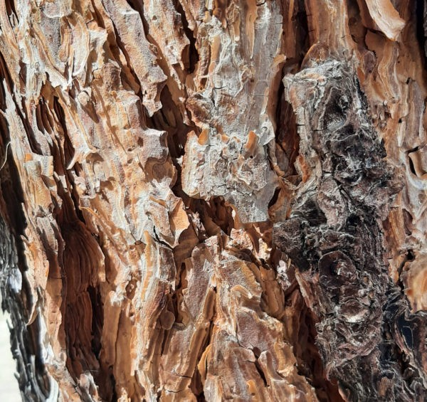 Deeply weathered ponderosa pine bark. It's mostly a pale orangish tan, & it weathers into thin, oddly-shaped layers that peel off & look like puzzle pieces.