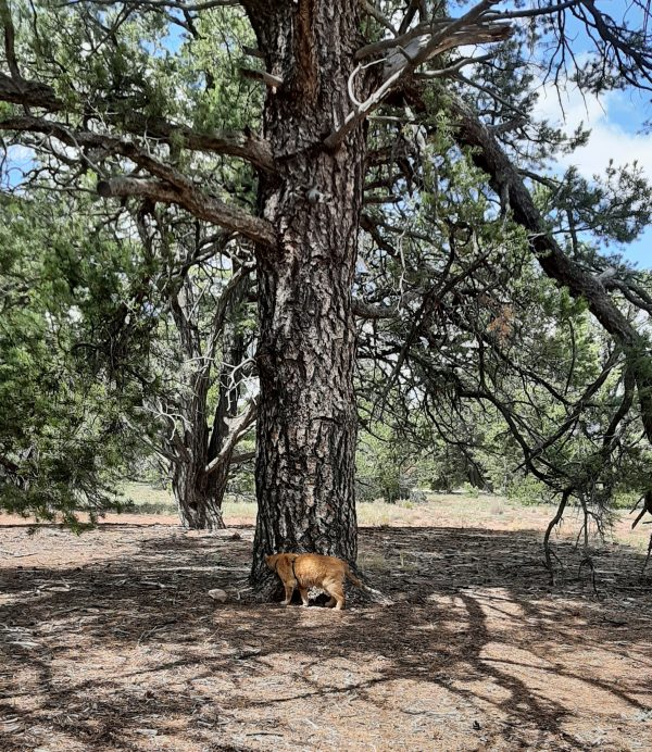 Loiosh, an orange tabby wearing a green harness, sniffs at the base of the pinyon.