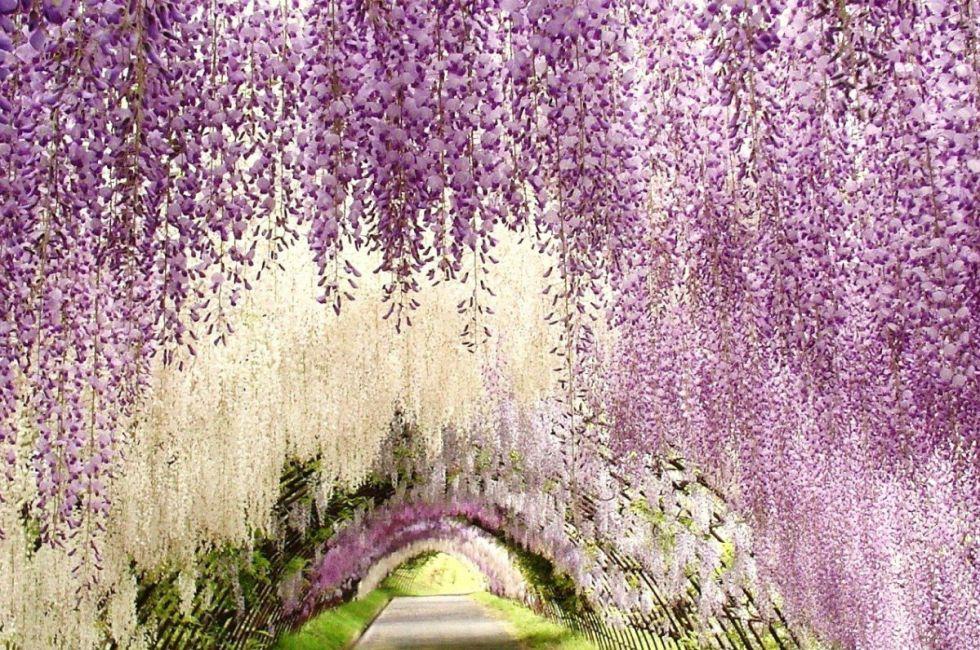 Kawachi Fujien Wisteria Garden, Japan