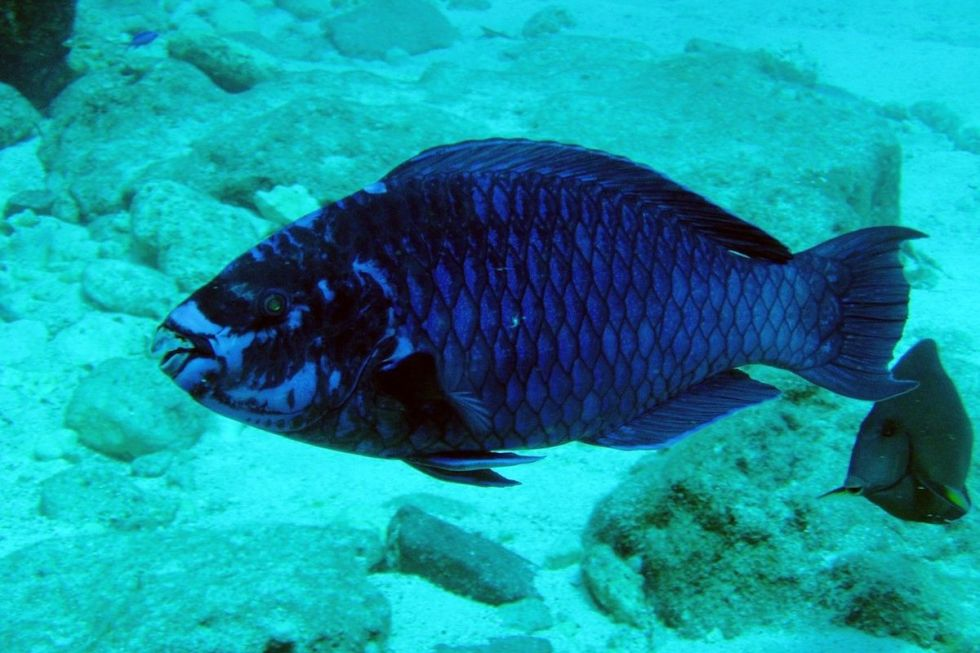 """Scarus coelestinus,"" also known as the ""midnight parrot fish"" is a species of parrotfish that inhabits coral reefs not only in the Caribbean but in the Bahamas and Florida."