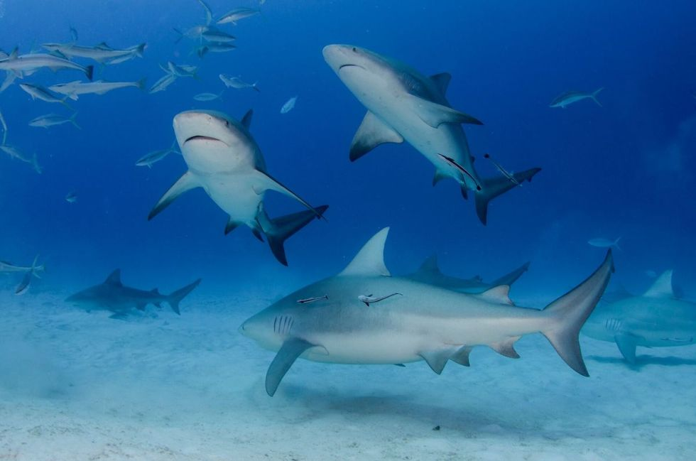 """The """"bull shark"""" or""""Carcharhinus leucas"""",is arequiem shark, known for its aggressive nature,that is usually present in warm shallow waters in rivers and along coasts."""