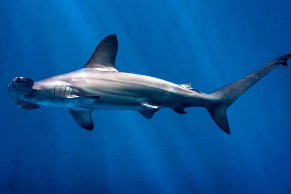 """Thehammerhead sharkswith the distinctive""""hammer"""" shaped heads can be found worldwide in warmer waters."""