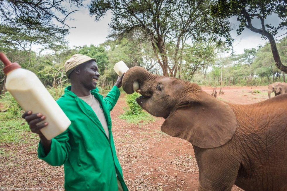 Man feeding milk to orphaned baby elephant at Sheldrick Wildlife Trust, in Nairobi, Kenya.