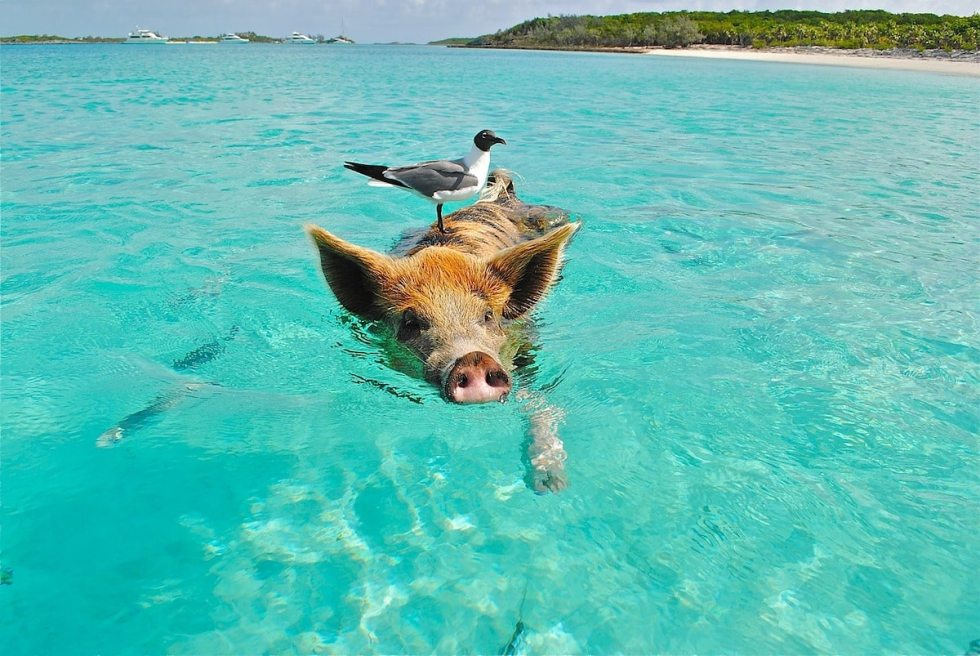 A swimming pig and a bird