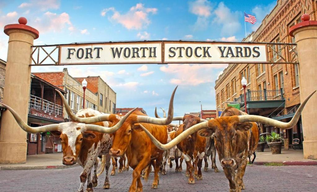 The Fort Worth Herd, the world's only twice daily cattle drive, in the Fort Worth Stockyards