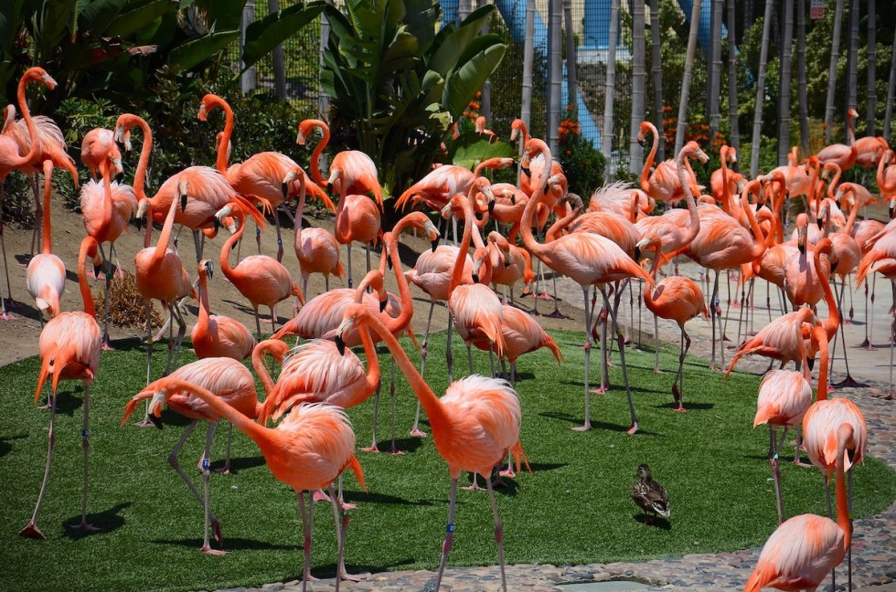 Flamingos at San Diego Zoo, California