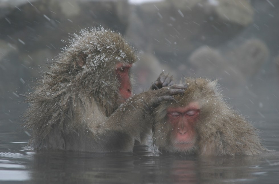 Snow monkeys interacting with each other in hot springs