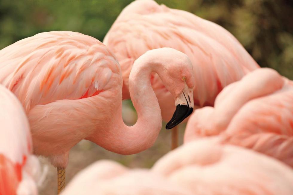 Lincoln Park Zoo flamingos