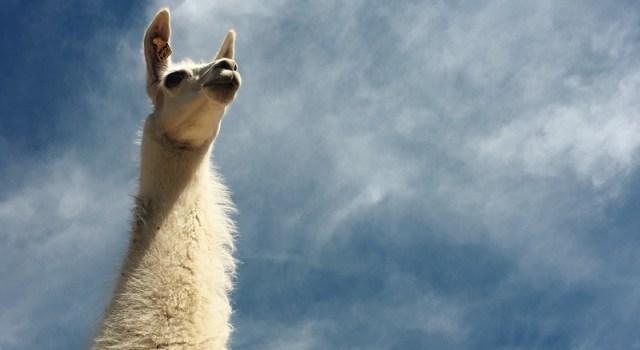 llama looking epic