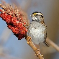 POETRY: The Beautiful, Striped Sparrow, by Mary Oliver