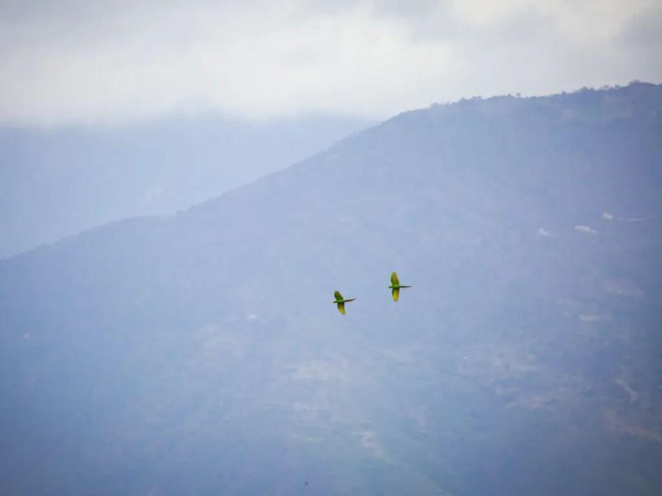 Green Macaws in Oaxaca