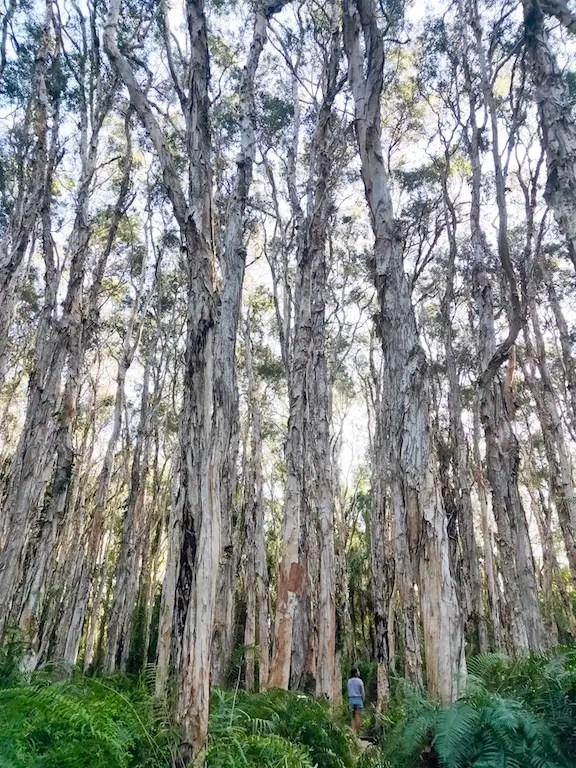The The tall slender paper parks along this short trail are mesmerizing, don't miss this, one of the best things to do in 1770