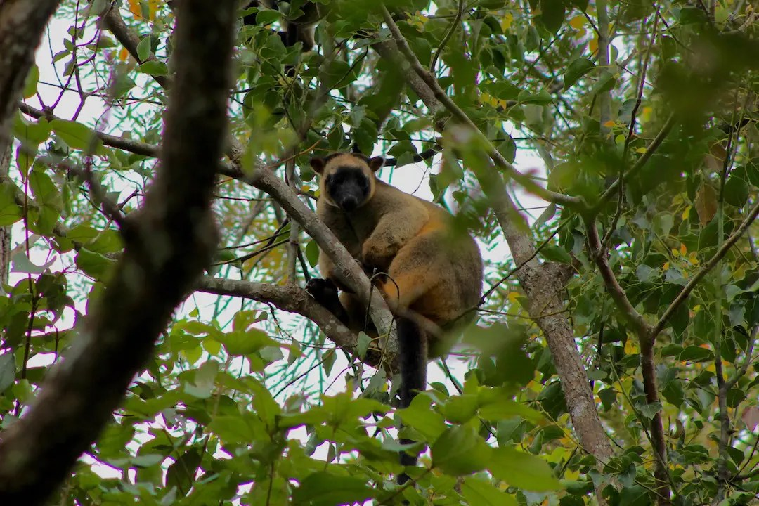 A tree kangaroo spotted along Patterson Creek in Yungaburra is one of the best things to do in Atherton.
