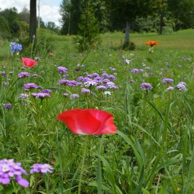 Growing A Wildflower Meadow