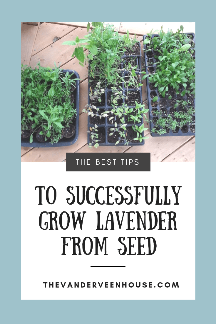 easy tips to grow lavender from seed