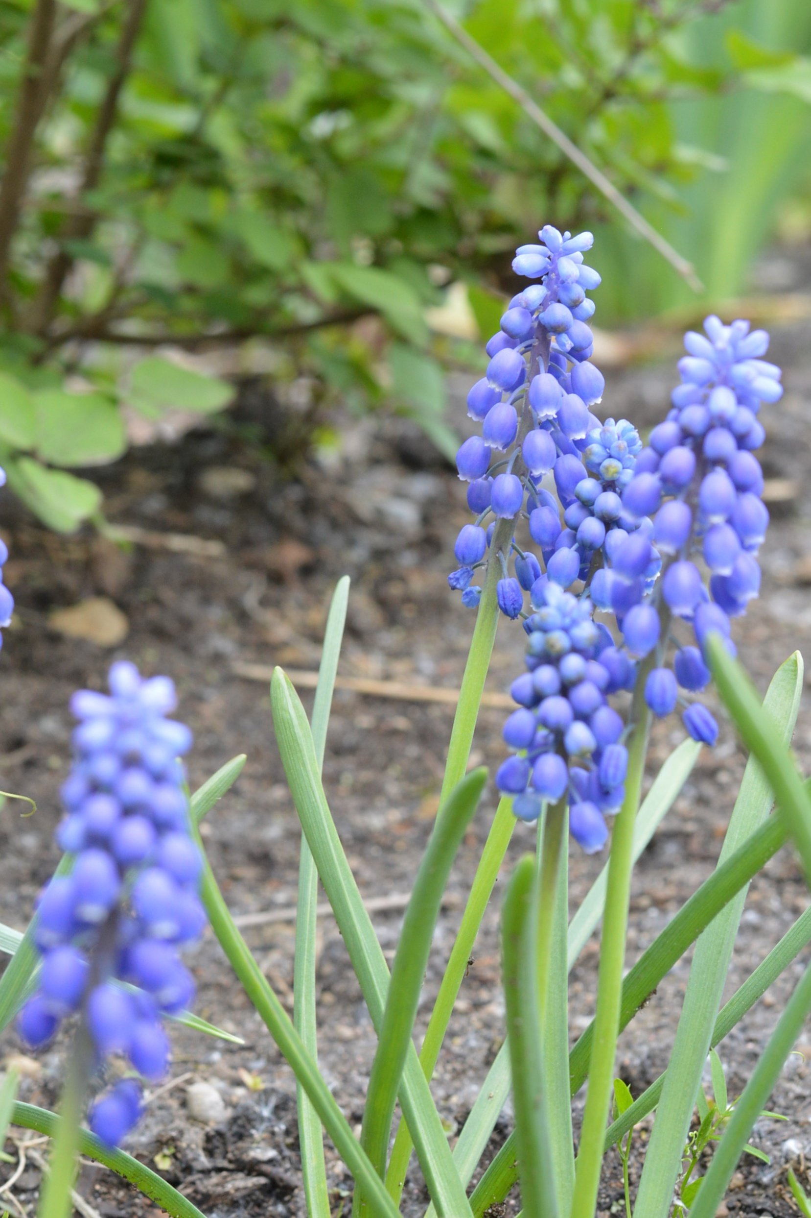 how to plant grape hyacinths