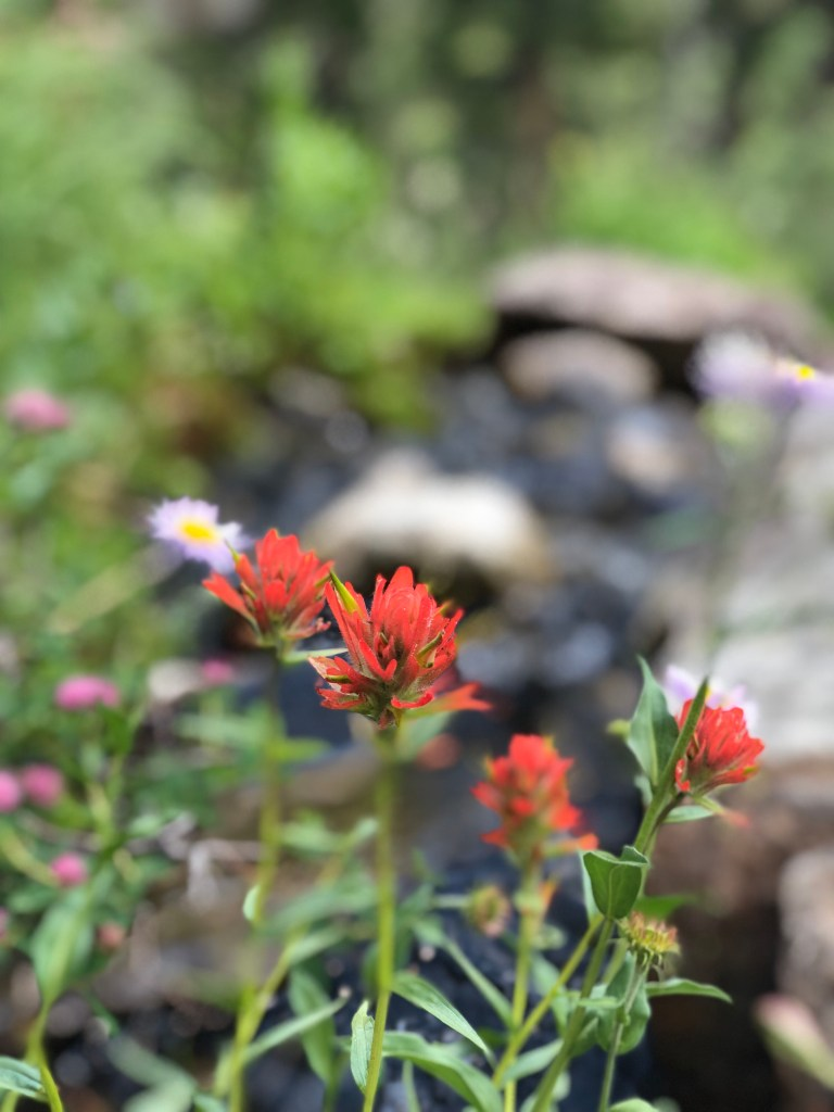 Red Indian paintbrush on Lake Solitude hike in Tetons National Park