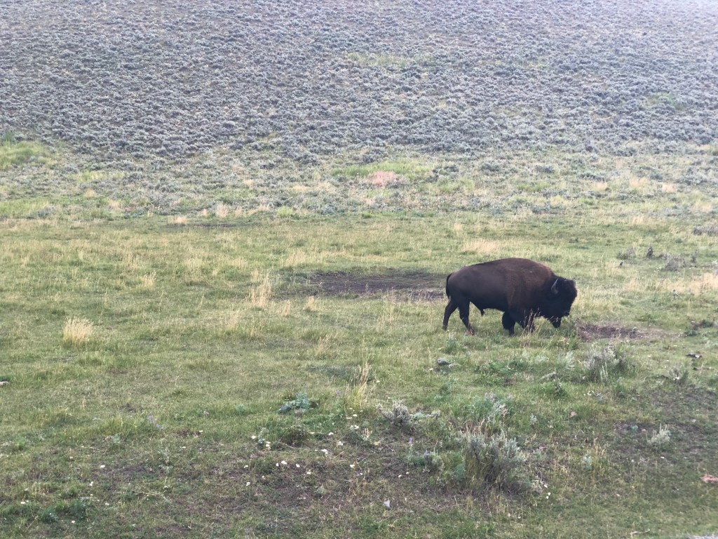 Lamar valley bison Yellowstone National Park