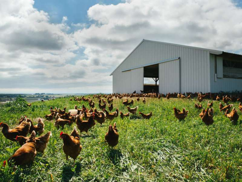 Hens roaming freely on big green field to make pasture-raised eggs at Handsome Brook Farms.