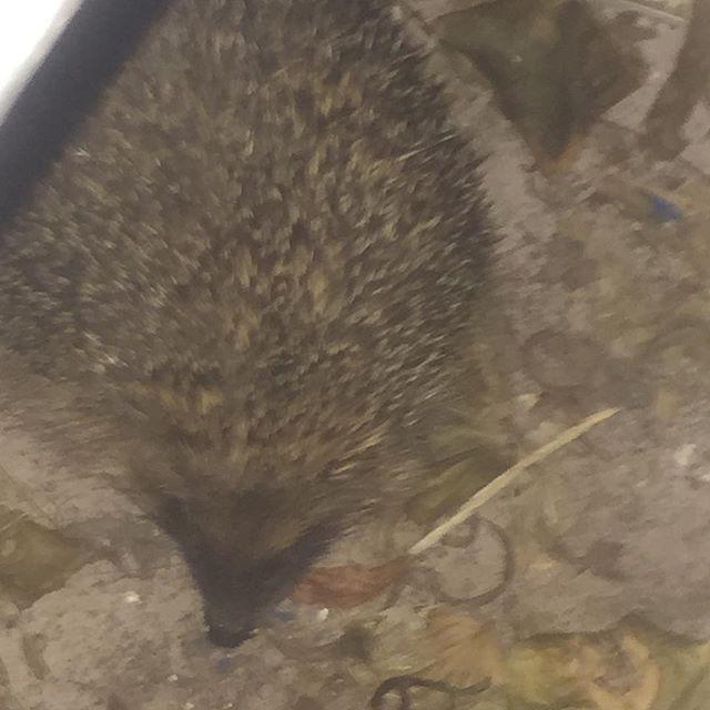 Our friendly garden hedgehog