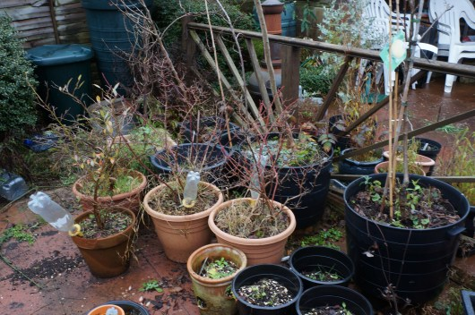 my potted fruit trees and bushes