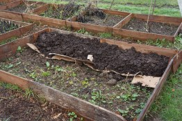 Preparing the pea and bean bed.