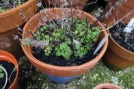 Lemon balm also really getting going now