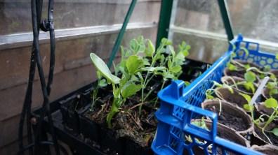 broad bean seedling