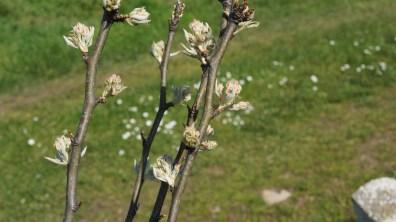 Pear tree in flower