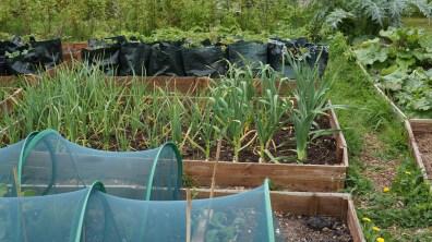 Garlic growing well