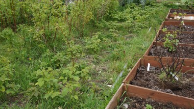 The raspberry bed slowly clearing more weeds