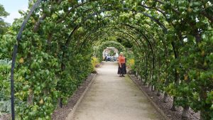 Pear trees trained into an arch