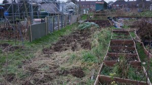 Clearing the raspberry bed.
