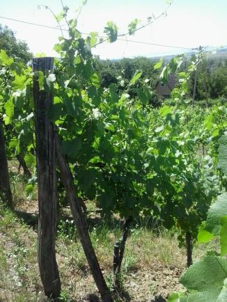 Vines prior to summer trimming.