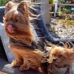 Ten Dogs Enjoying the Wind Rushing in Their Face