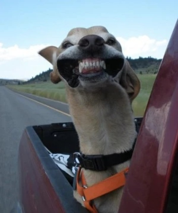Very Funny Dog in the Wind, While in the Back of a Pickup Truck