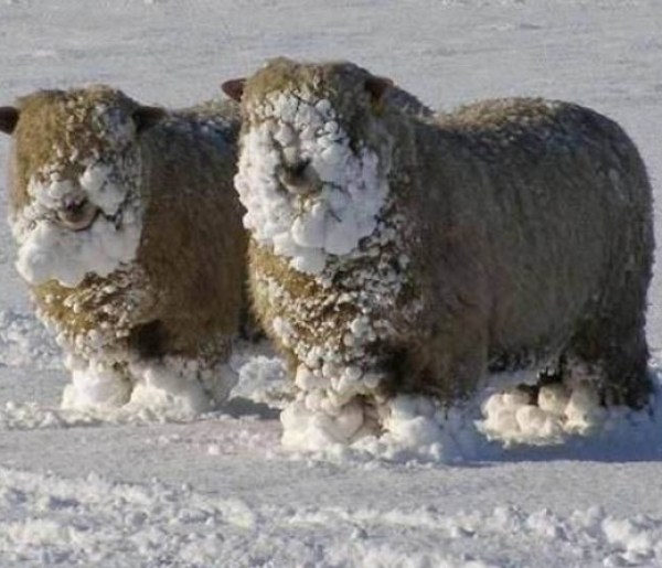 Sheep covered in snow