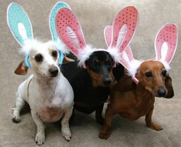 Dogs Dressed as the Easter Bunny