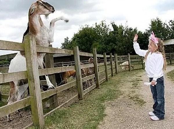 Darren the goat Waving Hello