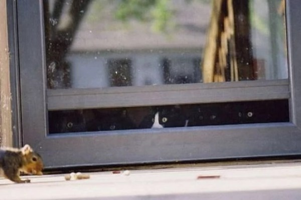 Cats looking out of a window at the squirrel