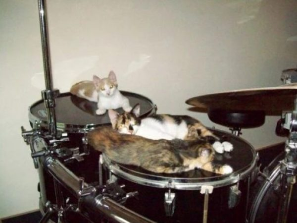 Kittens playing drums