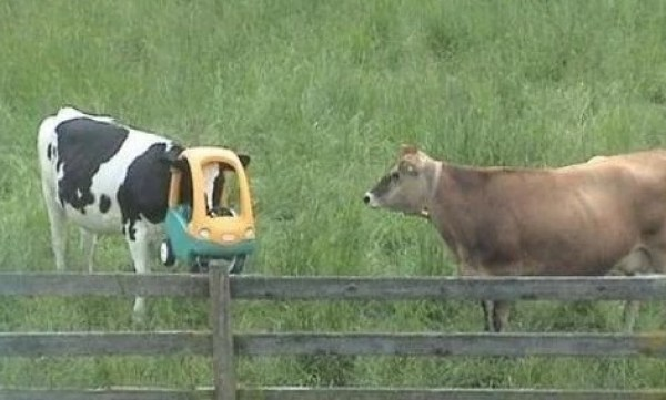Cow with head stuck on toy car