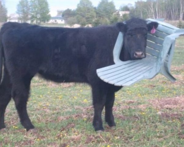 Cow with head stuck in plastic patio chair