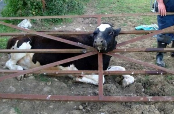Cow with head stuck in metal gate