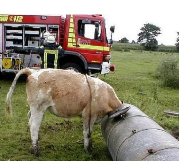 Cow with head stuck in metal grain pipe